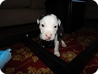 American Pit Bull Terrier Mix Puppy for adoption in San Diego, California - Reef