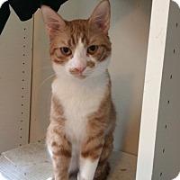Domestic Shorthair Cat for adoption in Los Angeles, California - Phoenix