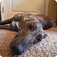 Adopt A Pet :: Rumour - Seattle, WA