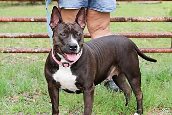 Pit Bull Terrier Mix Dog for adoption in Myakka City, Florida - Scarlet