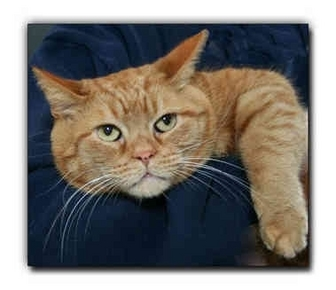 Domestic Shorthair Cat for adoption in Howell, Michigan - Butters