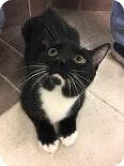 Domestic Shorthair Cat for adoption in Columbus, Georgia - Gojo 7144