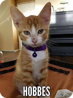 Domestic Shorthair Kitten for adoption in Rowlett, Texas - Hobbes
