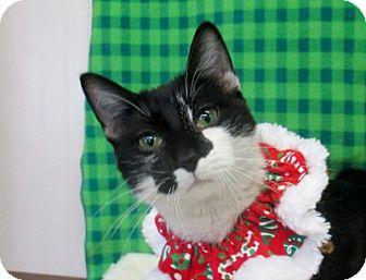 Domestic Shorthair Cat for adoption in Lloydminster, Alberta - Rudy