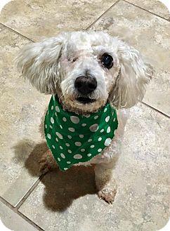 Bichon Frise Dog for adoption in Boulder, Colorado - Jack