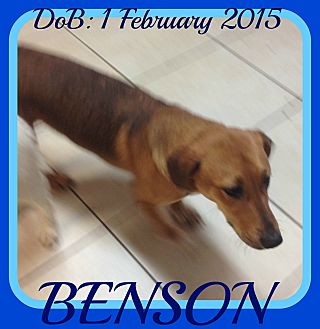 Basset Hound/German Shepherd Dog Mix Dog for adoption in Middletown, Connecticut - BENSON