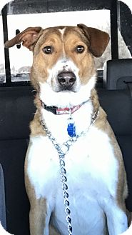 Collie/Anatolian Shepherd Mix Dog for adoption in Fort Collins, Colorado - COURTESY POSTING - Sonic
