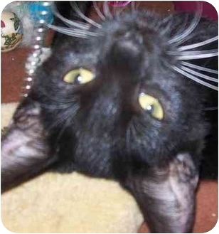 Domestic Shorthair Cat for adoption in Annapolis, Maryland - Gus