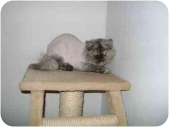 Persian Cat for adoption in Etobicoke, Ontario - Pearl