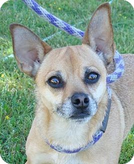 Chihuahua/Pug Mix Dog for adoption in Red Bluff, California - Fritz- $45 Adoption Fee