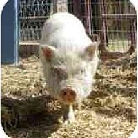 Adopt A Pet :: Moe - Las Vegas, NV