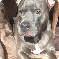 Adopt A Pet :: Blue~ Courtesy Post - Phoenix, AZ