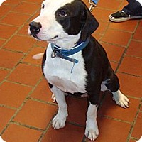 Adopt A Pet :: Dominic - Tallahassee, FL
