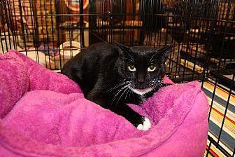 Domestic Shorthair Cat for adoption in Yardley, Pennsylvania - Mimi