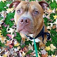 Adopt A Pet :: Brock - Acushnet, MA