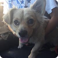 Adopt A Pet :: Handsome - Las Vegas, NV