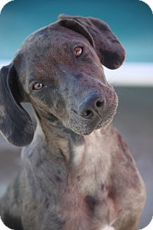 Catahoula Leopard Dog/Labrador Retriever Mix Puppy for adoption in Mahwah, New Jersey - Simone MLK-ADOPTED!!!