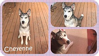 Siberian Husky Mix Dog for adoption in DOVER, Ohio - Cheyenne