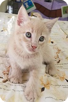 Domestic Shorthair Kitten for adoption in Havelock, North Carolina - Leo