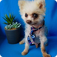 Adopt A Pet :: Stuart Little - Irvine, CA