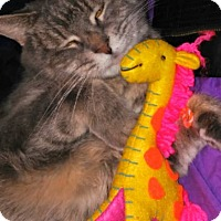 Adopt A Pet :: Ms. Kitty Katt - Baltimore, MD