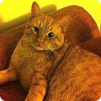 Adopt A Pet :: Mellow Yellow - Deerfield Beach, FL