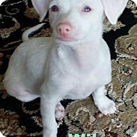Adopt A Pet :: Wilson - Gilbert, AZ
