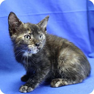 Domestic Shorthair Kitten for adoption in Winston-Salem, North Carolina - Marble