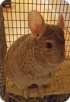 Chinchilla for adoption in Granby, Connecticut - Patrick