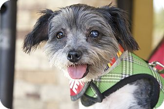 Affenpinscher/Terrier (Unknown Type, Small) Mix Dog for adoption in Van Nuys, California - Magic Mikey