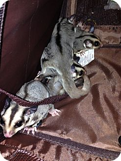 Sugar Glider for adoption in Phoenix, Arizona - Elsa (bonded to Olaf)