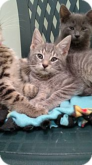 Domestic Shorthair Kitten for adoption in Austintown, Ohio - Bolt