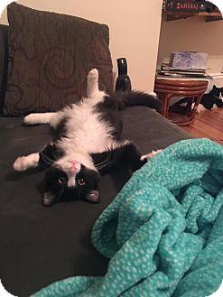 Domestic Shorthair Cat for adoption in Boston, Massachusetts - Teddy
