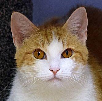 Domestic Shorthair Cat for adoption in Norwalk, Connecticut - Apricat