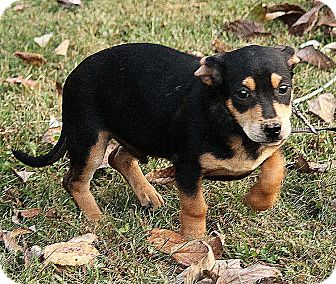Black and Tan Coonhound Mix Puppy for adoption in Allentown, Pennsylvania - Oliver
