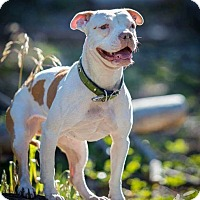 Bulldog/American Staffordshire Terrier Mix Dog for adoption in Las Vegas, Nevada - Groot