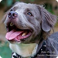 Adopt A Pet :: Mozart - Westminster, CA