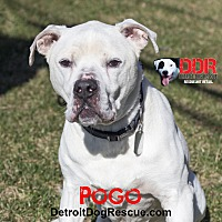Adopt A Pet :: Pogo - St. Clair Shores, MI