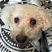 Adopt A Pet :: Mickey - Livonia, MI