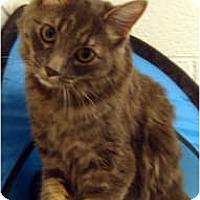 Adopt A Pet :: Kit Kat - Arlington, VA