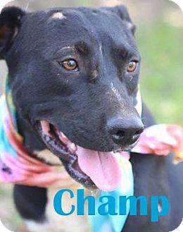 Labrador Retriever Mix Dog for adoption in Orangeburg, South Carolina - Champ