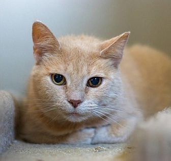 American Shorthair Cat for adoption in Troy, Michigan - Blondie