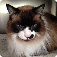 Domestic Longhair Cat for adoption in Port Angeles, Washington - Sammie