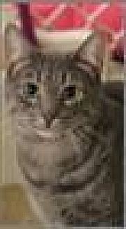 Domestic Shorthair Cat for adoption in Freeport, New York - Dos