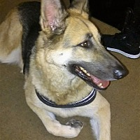 German Shepherd Dog Dog for adoption in San Diego, California - royal