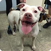 Adopt A Pet :: Ruby-Shelter - Rustburg, VA