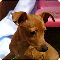 Adopt A Pet :: Miniature Pinscher Family - Sun Valley, CA