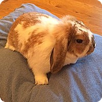 Adopt A Pet :: Snowball - Patterson, NY