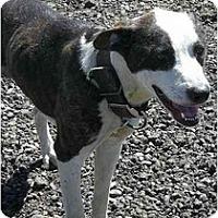 Adopt A Pet :: Boomer - Fowler, CA
