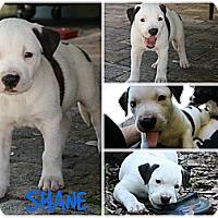 Adopt A Pet :: Shane - Pembroke pInes, FL